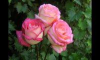Выращивание роз дома.