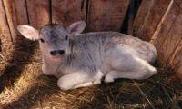Как быстро вырастить бычков в домашних условиях?