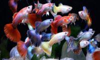 Рыба для мультивидового аквариума